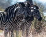 Safari nel Kruger National Park, Sudafrica