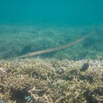 Pesce Flauto