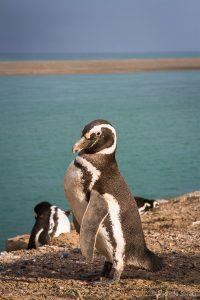 I Pinguini di Caleta Valdés