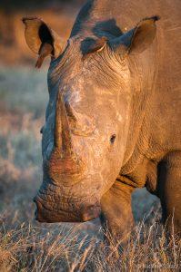 Rinoceronte al Mattino