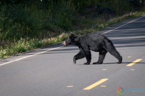 Un orso ci attraversa la strada