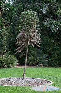 Botanic Garden - Wallemi Pine