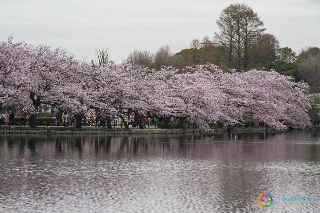 I Ciliegi di Ueno
