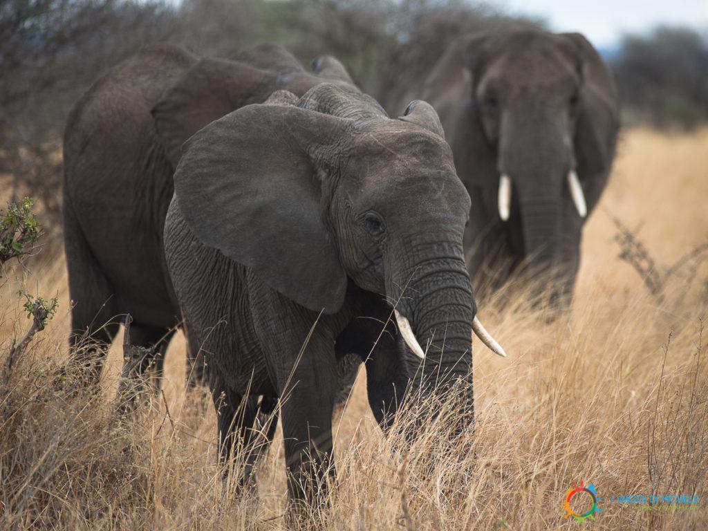 Elefante nel Tarangire - Tanzania