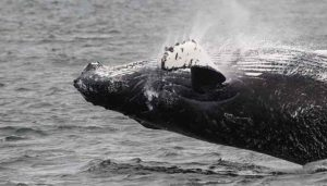 Whale Watching a Prince Rupert – Canada
