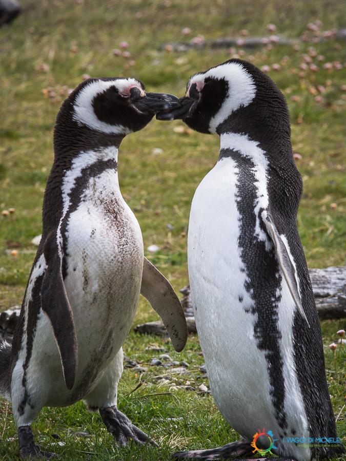 Pinguini in amore nella Terra del Fuoco