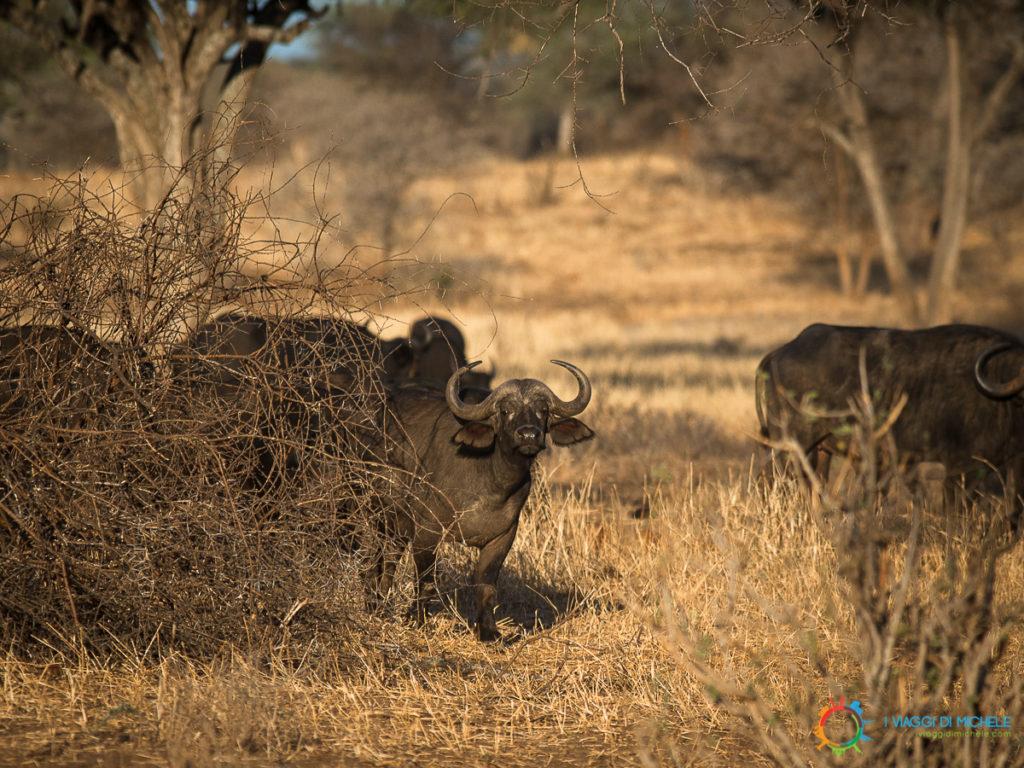 Bufali nel Tarangire