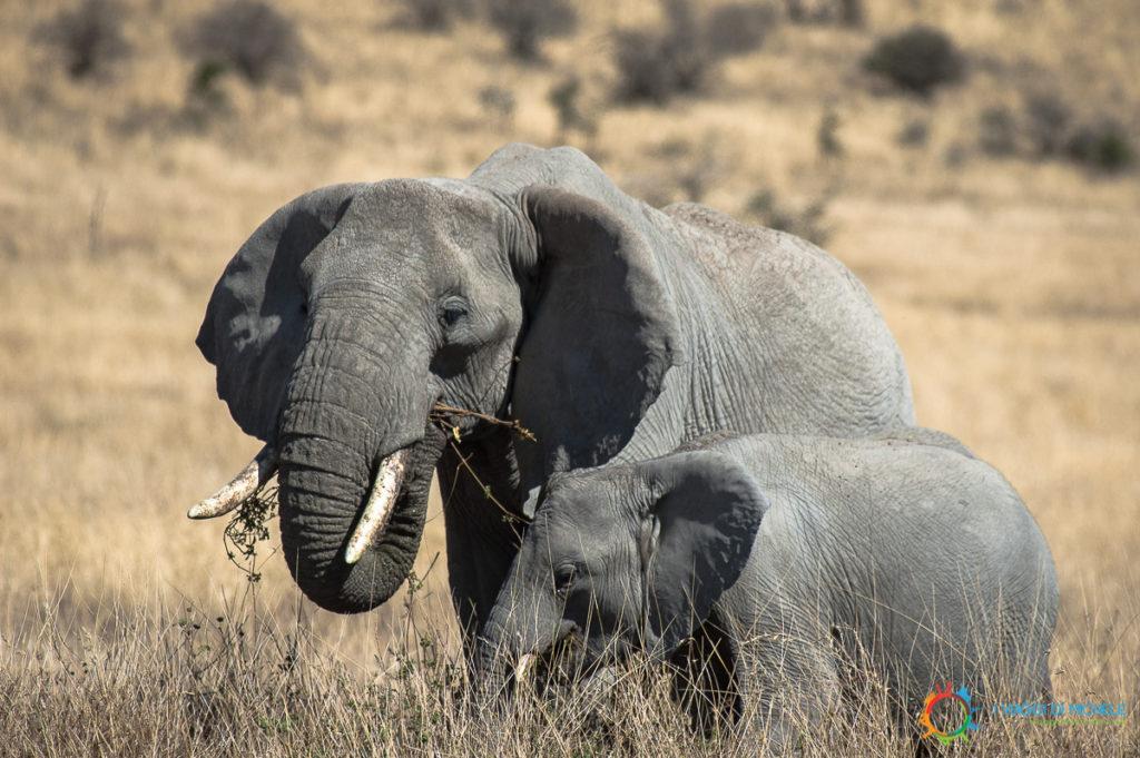 Altri Elefanti