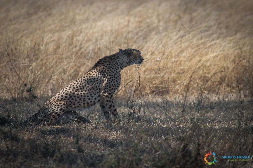 Serengeti, Ghepardo che scruta la sua preda