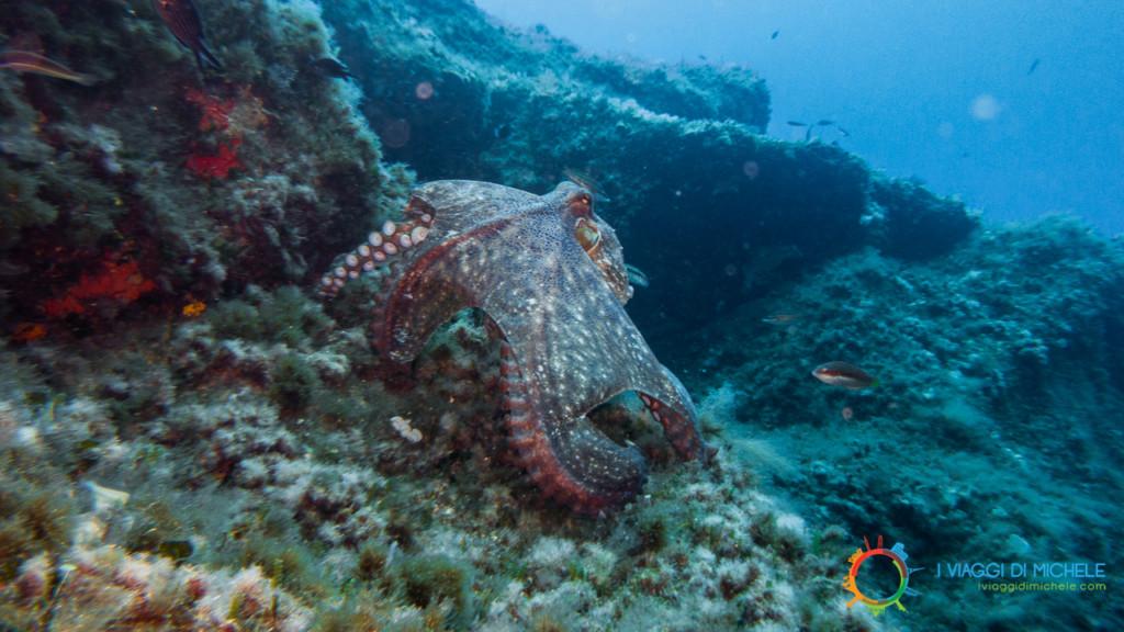 Fotografia subacquea - Una piovra in Sardegna