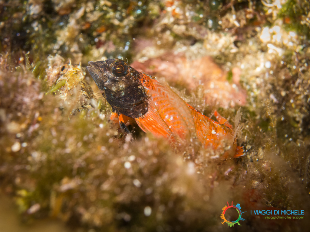 Fotografia subacquea - Pesce peperoncino