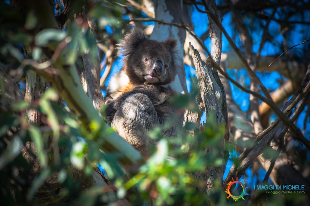 Kangaroo Island in un giorno - Un simpatico Koala su un Eucalipto