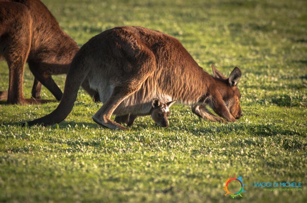 Kangaroo Island in un giorno - Mamma di canguro rosso con cucciolo