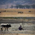 Un Masai che controlla il gregge