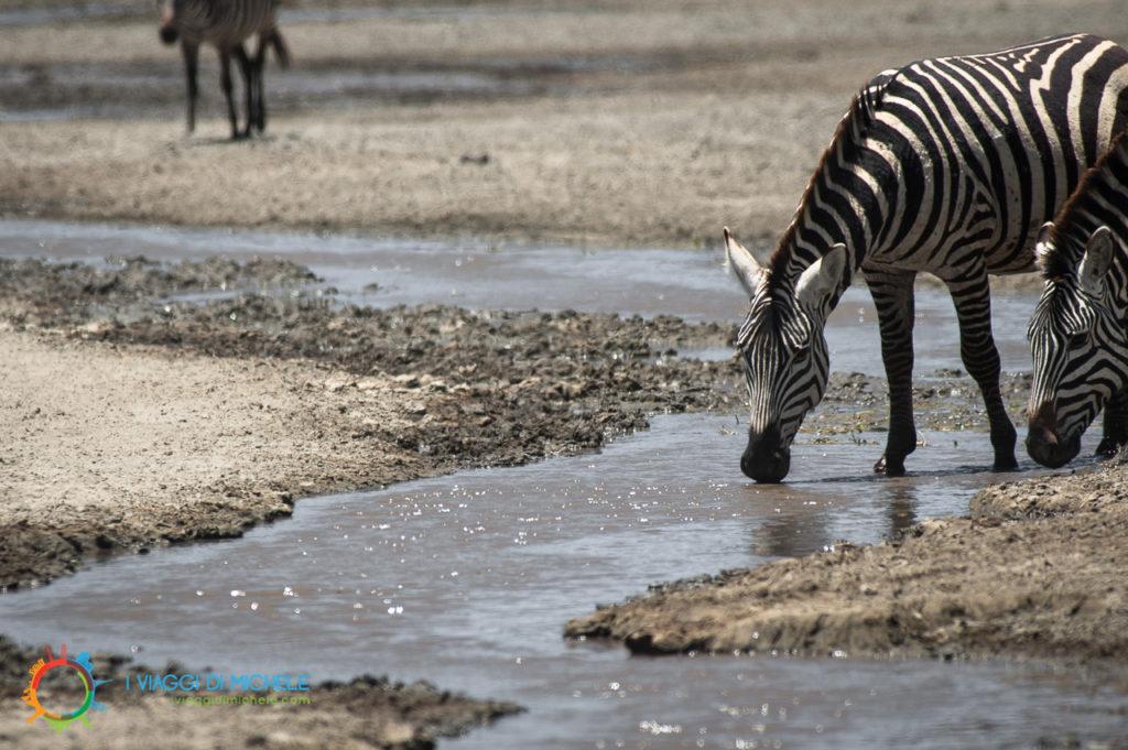 Zebre assetate nel Cratere Ngorongoro
